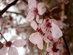 Flowering Plum (goo_97) Tags: tree blossom frontyard floweringplum