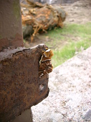 Wer rastet, der rostet! Birkenspinner (sweden man) Tags: lepidoptera braun falter insekt spinner schmetterling birke eule tarnung fhler bombycoidea nachfalter endromis versicolora birkenspinner endromidae