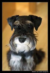 Mueco- Leo (daniel meseguer mateos) Tags: dog 35mm nikon leo puppet schnauzer mascot perro nikkor 18 mascota d90