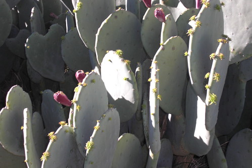 Opuntia in the morning #2
