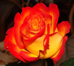 Orange and yellow rose at Troy's Greek restaurant (Martin LaBar (going on hiatus)) Tags: california red orange color beautiful rose yellow petals rojo sandiego amarillo colored lovely naranja sandiegocounty bello rosaceae ptalos