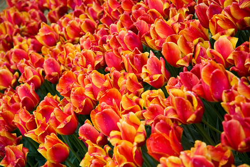 Veldheer's Tulip Farm. Holland Michigan-54