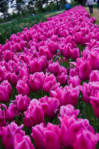 Veldheer's Tulip Farm. Holland Michigan-31