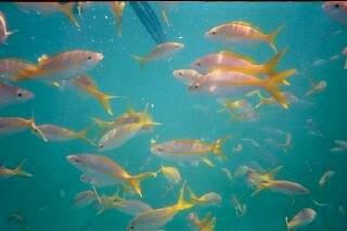 Cuban Fish0002