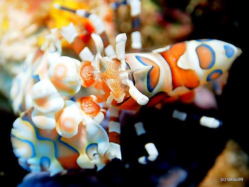 Harlequin shrimp, Richelieu Rock Thailand