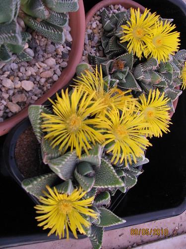 Faucaria tigrina 4595027646_10ed4f9442