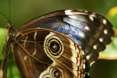 A Blue Morpho for my Friend....Emi (hotes trinkets/DaydreamingKat) Tags: blue ohio macro nature butterfly wings bokeh columbusohio franklinparkconservatory bluemorpho morphomenelaus straightfrommycamera rainforestcanopy nocolorsadded sonyalphadslra700 butterflyeyes absolutelynatural hotestrinkets butterfllycloseup lovesrottenfruitandtreesap