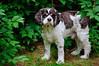 Clifford (Paul Keleher) Tags: dog dogs cocker clifford cockerspaniel brownandwhitedog