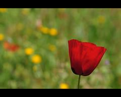 Maig (crossa) Tags: red flower primavera rouge spring rojo nikon flor sigma vermell rosella printemps poppie 28300 amapola d300s
