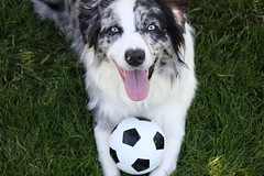 Soccer (blurry_moon) Tags: dog dogs puppy fun spring mix soccer sunny aussie australianshepherd