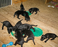 Hunde - 30 (Manfred Lentz) Tags: pets dogs puppy pups puppies hunde littledogs welpen hndchen babydogs whelps
