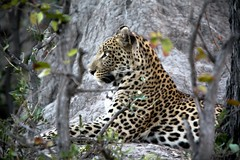 20090901 Okavango - Moremi 134 (blogmulo) Tags: africa travel animal fauna cat canon leopardo wildlife reserve delta safari viajes leopard bigcat botswana moremi 2009 f28 okavango 70200mm canon450d blogmulo okuti