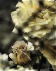 Aquella rosa d´ un altre jardi ( Tantra ) - th...