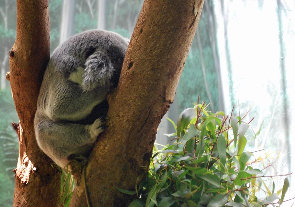 Zoo Aus Koala Shy