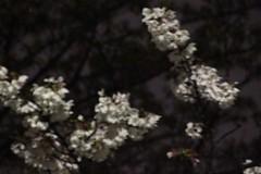 桜雪-失敗