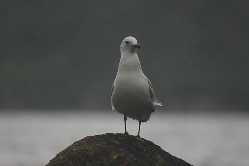 Seagull @ Seal Rock