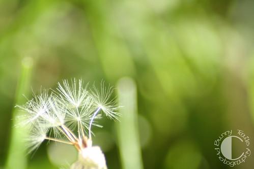 dandelion seed02