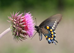 Pipevine Swallowtail on Thistle (DrPhotoMoto) Tags: butterfly may northcarolina picnik richmondcounty pipevineswallowtail battusphilenor colorphotoaward