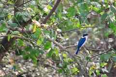 Kingfisher in the Mekong (monchoparis) Tags: bird animal canon eos asia vietnam kingfisher pajaro mekongdelta oiseau mekong mekongriver vitnam  500d vitnam  martinpescador martinpecheur  riomekong    tamron18270