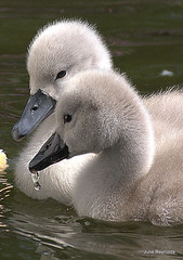Signet Twins (juliereynoldsphotography) Tags: