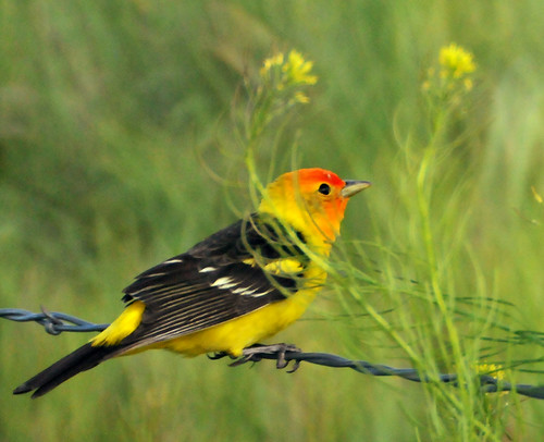 western tanager glenwood utah fence 3