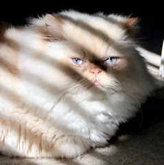 The cool cat.. (f & b) Tags: light pet cute home cat point cool eyes feline flame shade kedi himalayan