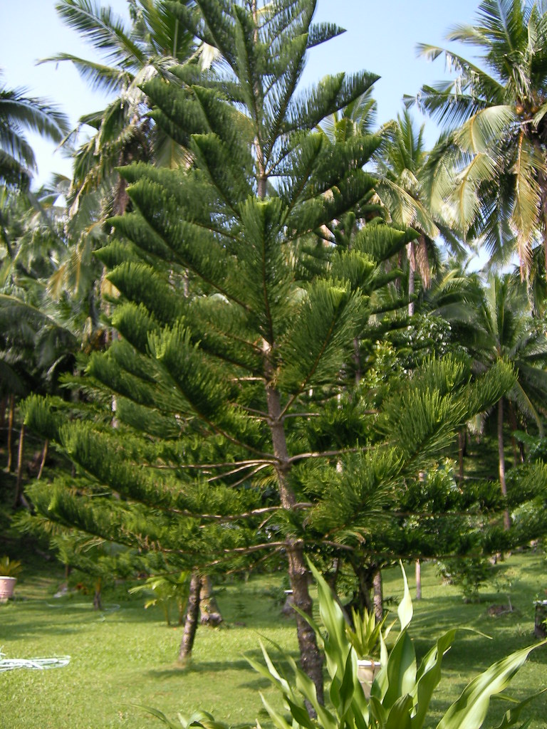 And information network araucaria heterophylla norfolk pine - Araucaria Heterophylla Norfolk Island Pine Romblon Philippines The Three P H
