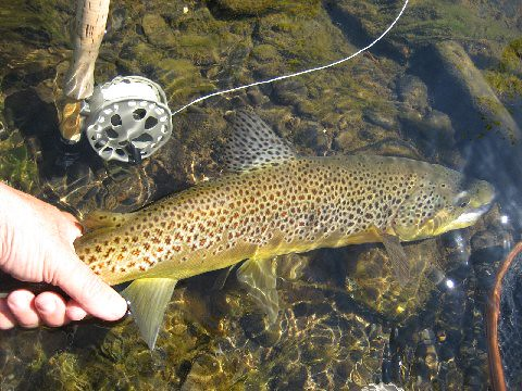 NY Brown Trout
