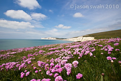 Sea Thrift at Compton Bay, Isle of Wight.