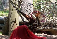 Orangutan - Ha ha! Got The Sombrero! (kathleenjacksonphotography) Tags: cute nature fun florida orangutan sombrero swinging primate primates lowryparkzoo tampabayflorida orangutanwearingasombrero orangutanstealingasombrero swingingorangutan