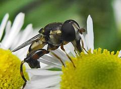 Big (joehall45) Tags: flower nature bee 1001nights supermacro potofgold flickrbronzeawards intensosanimales flickrsgottalentnaturesgallery