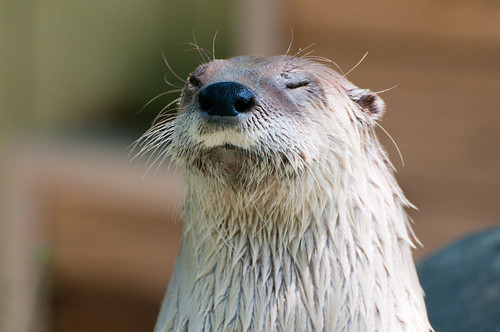 face of a damp river otter with eyes closed, against an out-of-focus background