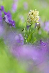 dactylorhiza sambucina tra le viole (Michele Venturini) Tags: flowers wild nature orchids natura fiori viole casentino orchidea selvatica dactiloryzasambucina