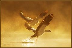 Walk like an Egyptian.. (hvhe1) Tags: bird nature animal wildlife natuur goose gans naturereserve egyptian waterfowl interestingness9 biesbosch wetland egyptiangoose nijlgans natuurgebied natuurreservaat supershot watervogel specanimal hvhe1 hennievanheerden