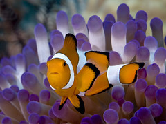 Western clown anemonefish_PCF0822 (Paul Flandinette) Tags: ocean nikon underwater philippines sealife cebu anemonefish malapascua marinelife oceanlife underwaterphotography falseclownanemonefish westernclownanemonefish beautifulfish amphiprionoccellaris paulflandinette