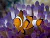 Western clown anemonefish_PCF0822 (Paul Flandinette) Tags: ocean nikon underwater philippines sealife cebu anemonefish malapascua marinelife oceanlife underwaterphotography falseclownanemonefish westernclownanemonefish beautifulfish amphiprionoccellaris paulflandinette