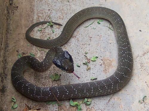 africa uganda snakes arua reptiles whitelippedsnake crotaphopeltishotamboeia heraldsnake geo:country=uganda taxonomy:binomial=crotaphopeltishotamboeia taxonomy:genus=crotaphopeltis taxonomy:common=heraldsnake dluogs