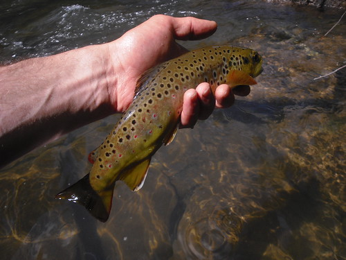 Wild Brown Trout In Maryland