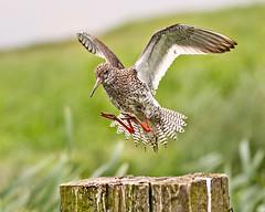 Redshank Landing (Andrew Haynes Wildlife Images) Tags: bird nature wildlife norfolk flight nwt landing redshank cleymarsh canon7d ajh2008