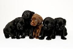 puppy 12.6.10 indie 422 (caz gordon,) Tags: dog pet black cute animal puppy nikon labrador sweet chocolate blueeyes adorable litter whitebackground 5weeks puppys puppyeyes