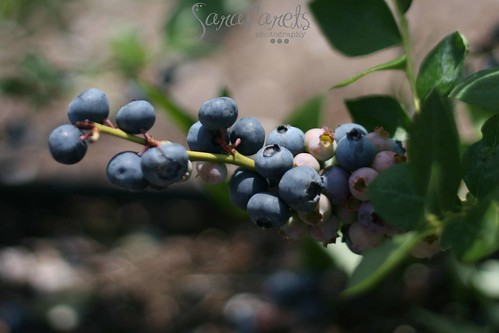 Farm fresh blueberries