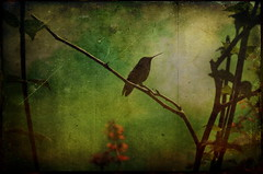 Hummingbird in texture (Nancy Violeta Velez) Tags: birds geotagged photography flickr sitting image textures legacy migrating ourtime butterflyworld perching trochilidae glomerulus comprising nectarivores skeletalmess nikond5000 floridasparks amongthesmallestofbirds drinknectar troughliketongues nephrum