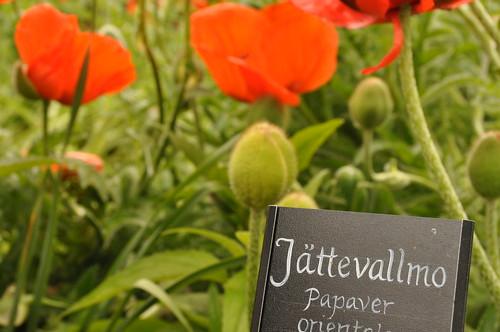 swedish poppies