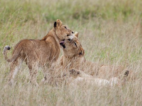 Lion Lessons: Yes my love you did well!!