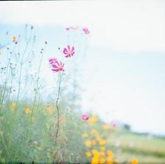 with tearful eyes (*setsuna) Tags: blur flower film nature japan kodak bokeh cosmos pentaconsix e100g carlzeissjena biometar