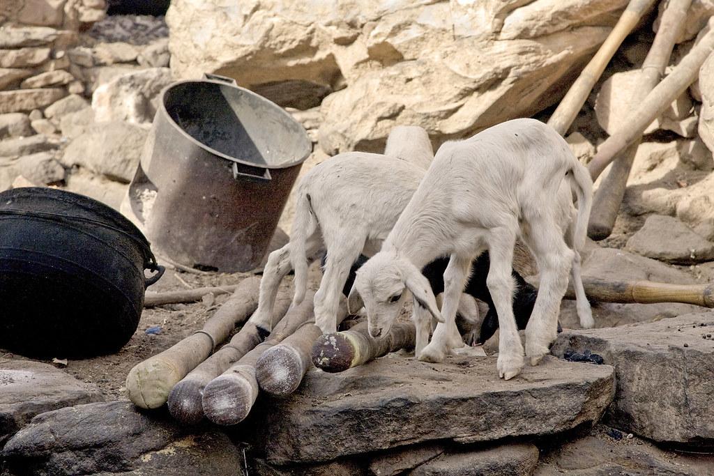 Goats efficient cooker pestles pot rocks 4431