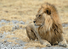 Male Lion, Central Kalahari Botswana