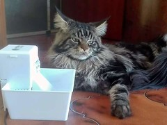 Baloo,Maine Coon brown tabby male (15 months old). (romeosilverpersian) Tags: mainecoons mainecoon cat cats catfountains fountain pets animali baloo tabbycats catbreed