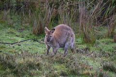 Red Necked Wallaby (zenseas) Tags: redneckedwallaby wild tasmania australia cradlemountain devilsatthecradle morning volunteer workingholiday holiday vacation marsupial nottame macropusrufogriseus south southernhemisphere southern wallaby mist explored