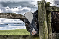Looking Through (jamesromanl17) Tags: fence farm nature outdoors grass agriculture rural barbedwire field barn cow farming farmland clouds cloud cloudscape cloudy animal fields canon eos 5d markiii cheshire england britain countryside